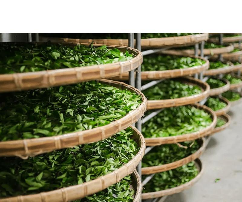 Cách làm bột trà xanh đơn giản từ lá trà dành cho chị em